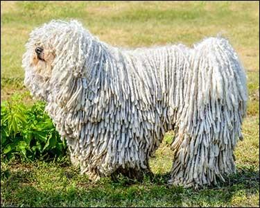 Origine : Hongrie Taille : 60 à 75 cm Poids : 40 à 60 kg Caractère : Bon chien de garde, observateur, fidèle, très actif la nuit Quelle est cette race ?