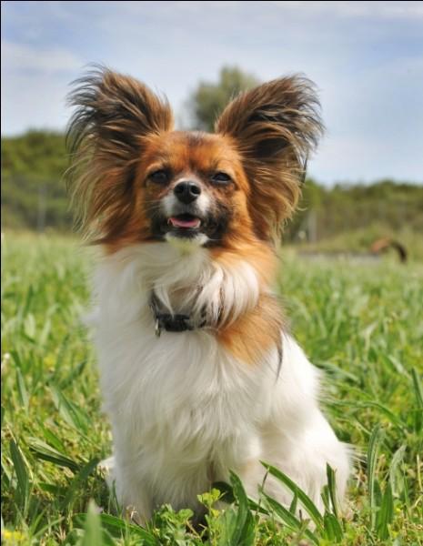 Origine : France Taille : 27 à 28 cm Poids : 1 à 5 kg Caractère : Gai, amusant, gentil et joueur Quelle est cette race de chiens ?