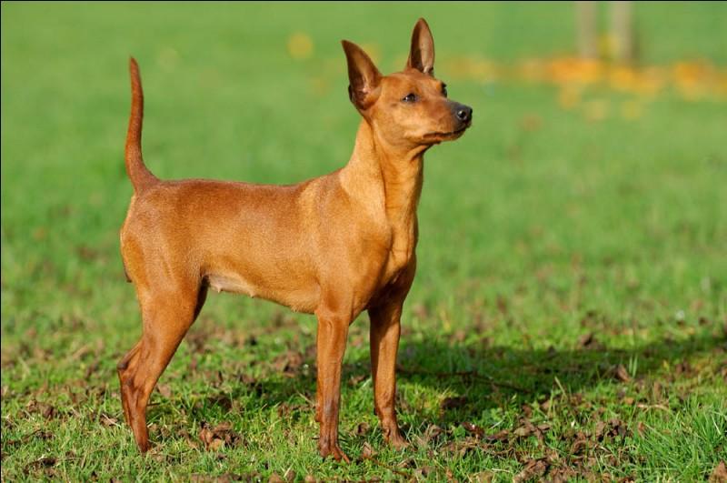 Origine : Allemagne Taille : 25 à 30 cm Poids : 4 à 6 kg Caractère : Loyal, fidèle, vif, parfait pour la vie de famille Quelle est cette race ?