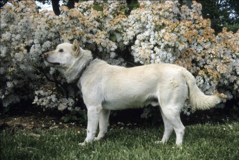 Origine : Corée du Sud Taille : 49 à 54 cm Poids : 15 à 23 kg Caractère : Courageux, intelligent, fidèle parfois bagarreur Quelle est cette race de chiens ?