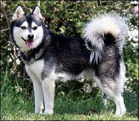 Origine : Etats-Unis Taille : 33 à 43 cm Poids : 7 à 10 kg Caractère : Intelligent, sportif, affectueux, agile, méfiant avec les étrangers Quelle est cette race de chiens ?