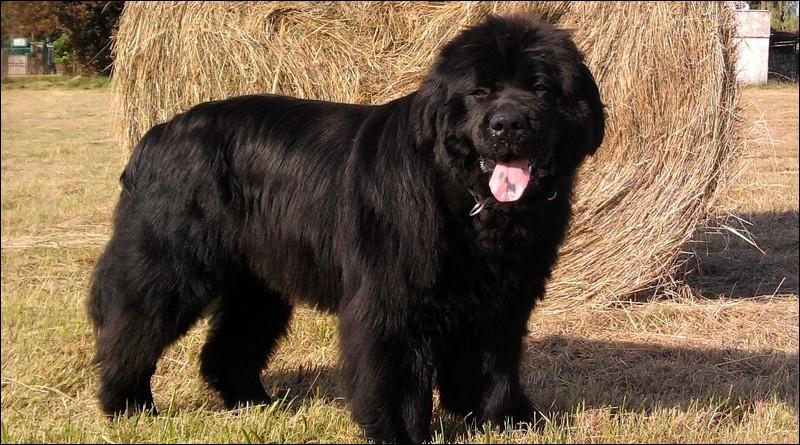 Origine : Canada Taille : 66 à 71 cm Poids : 50 à 70 kg Caractère : Courageux, travailleur, endurant, doux , adore les enfants Quelle est cette race de chiens ?
