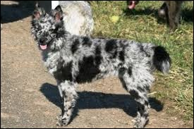 Origine : Hongrie Taille : 35 à 47 cm Poids : 8 à 13 kg Caractère : Facile a dresser, chien de chasse, joueur et sportif Quelle est cette race de chiens ?