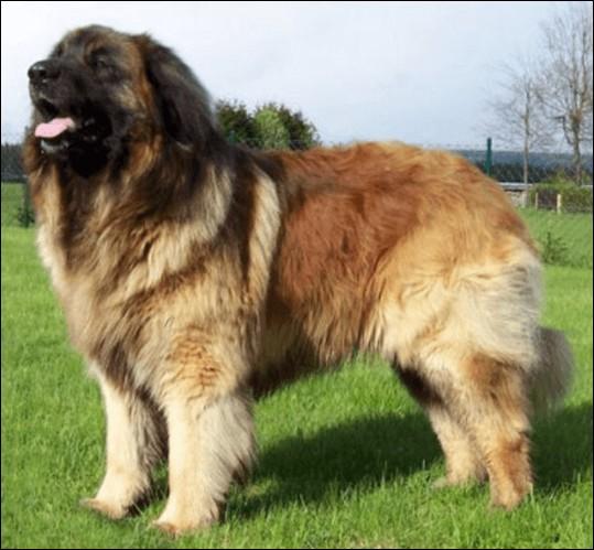 Origine : Allemagne Taille : 65 à 80 cm Poids : 55 à 80 kg Caractère : Calme, placide, gentil, doux, très bonne mémoire, bon chien de garde Quelle est cette race ?