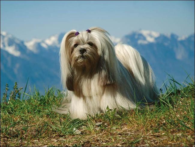 Origine : Tibet Taille : 18 à 30 cm Poids : 4 à 7 kg Caractère : Bon gardien, fidèle, affectueux mais très méfiant Quelle est cette race ?
