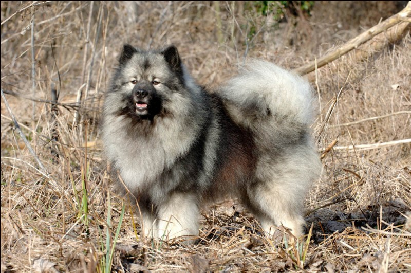 Origine : Allemagne Taille : 45 à 55 cm Poids : 15 à 20 kg Caractère : Dynamique,protecteur, affectueux et possessif Quelle est cette race de chiens ?