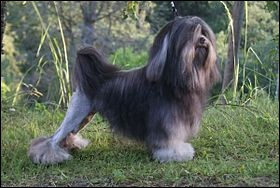 Origine : France Taille : 26 à 32 cm Poids : 6 kg Caractère : Obéissant, attentif, adore les enfants, aboyeurQuelle est cette race de chiens ?