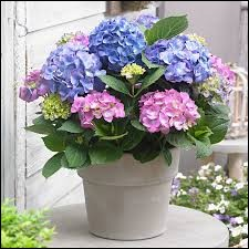 Ceci est un hortensia.