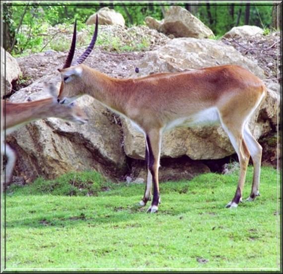 Springbock (antilope Cap)