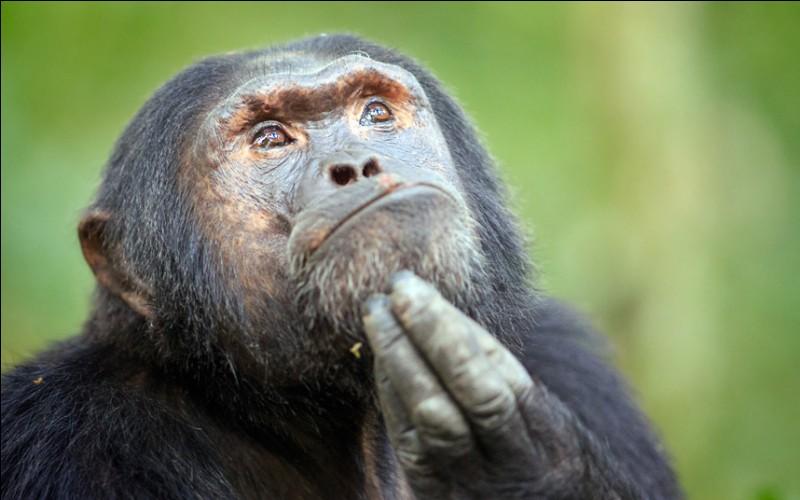Quelle race de singes apercevons-nous ici ?