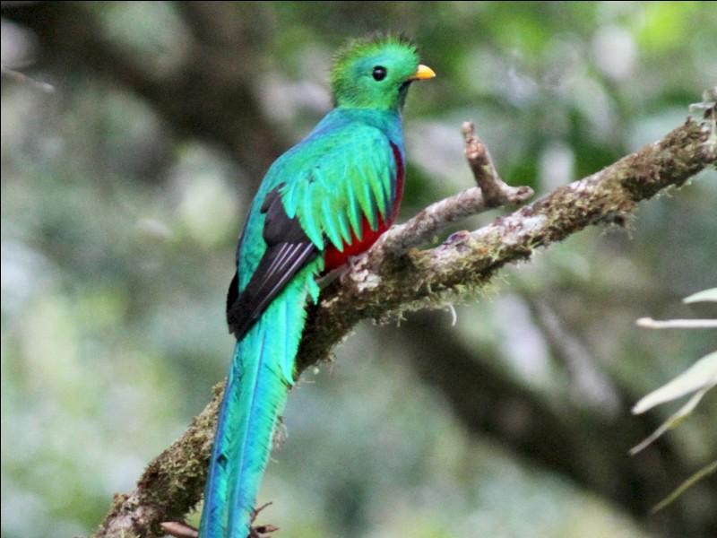 L'oiseau que nous apercevons ici est un quetzal.