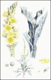 """Quelle plante est appelée """"bouillon blanc"""" ?"""