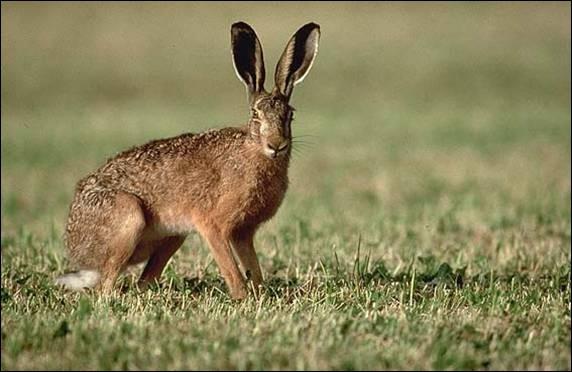 La hase est la femelle du lièvre.