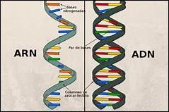 Qu'est-ce que l'ARN ?
