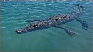 Combien de temps un crocodile peut-il rester sous l'eau ?