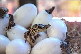 Les œufs de crocodile donnent naissance à des mâles ou à des femelles, en fonction de la température.