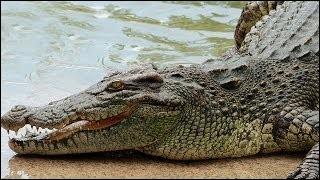 Le crocodile du Nil atteint parfois une longueur de 7 m.