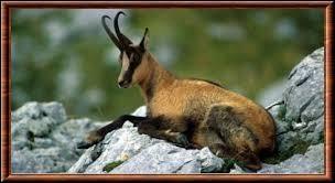 Quelle est l'appellation du chamois dans les Pyrénées ?
