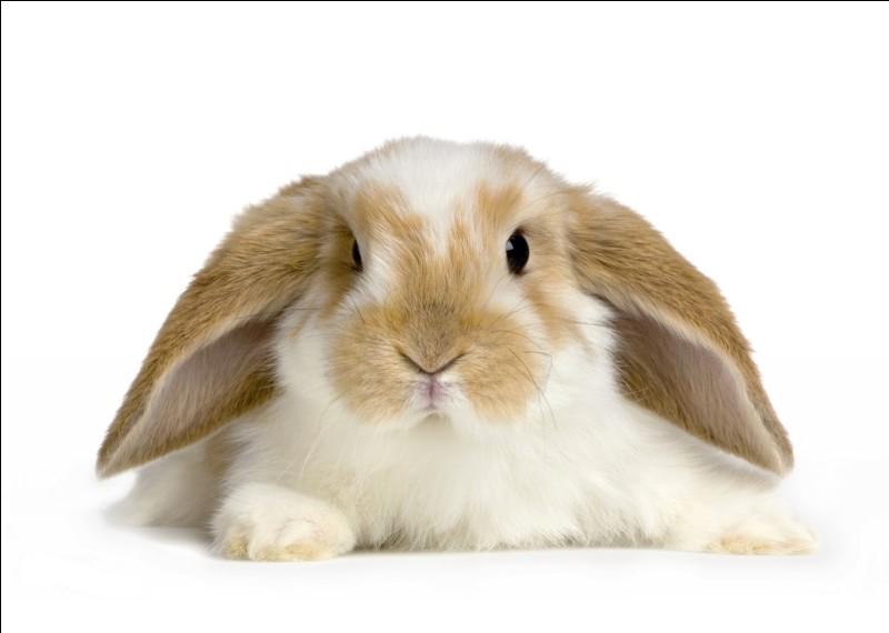 Combien y a-t-il de races de lapins ?