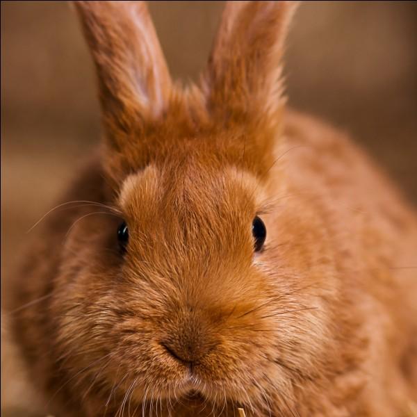 De quelle couleur est le pelage de ce lapin ?