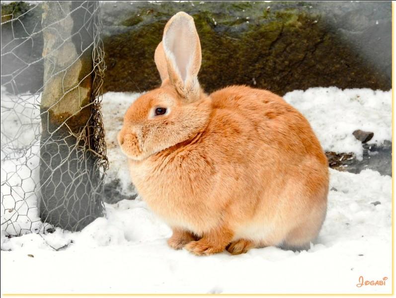 Quelle est la longueur des oreilles du lapin ?