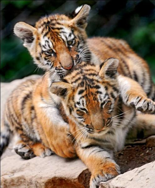 Le tigre est :