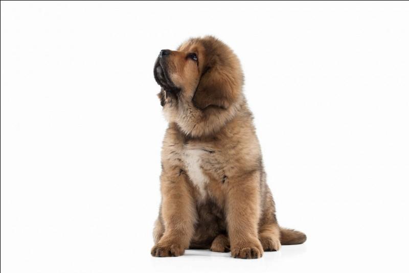 La race de chien la plus chère du monde est :