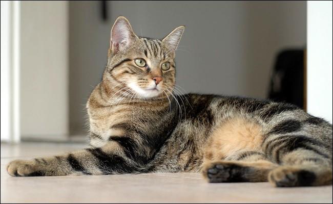 Et enfin ce chat est un :