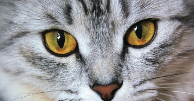 Connais-tu bien les races de chats ?