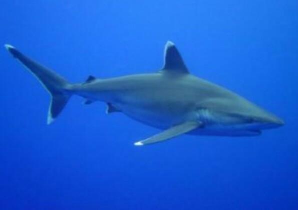 Les requins - partie 2 (moyen)