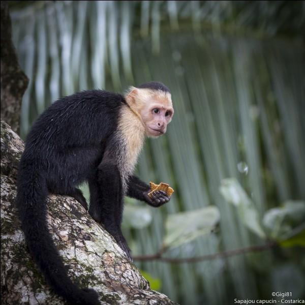 Que fait un singe pour intimider son adversaire lors d'un combat entre mâles ?