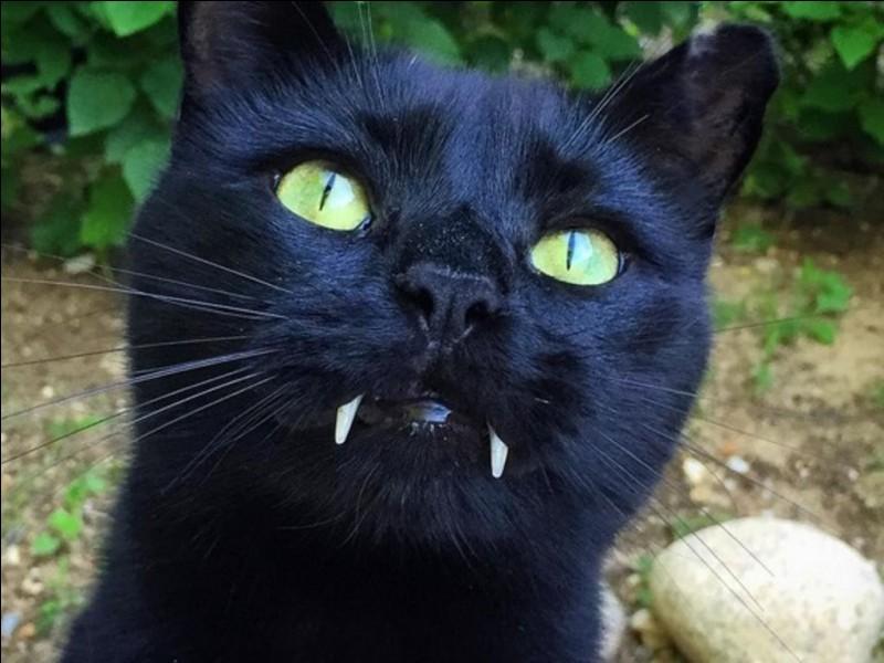 Comment est la queue d'un chat qui est énervé ?