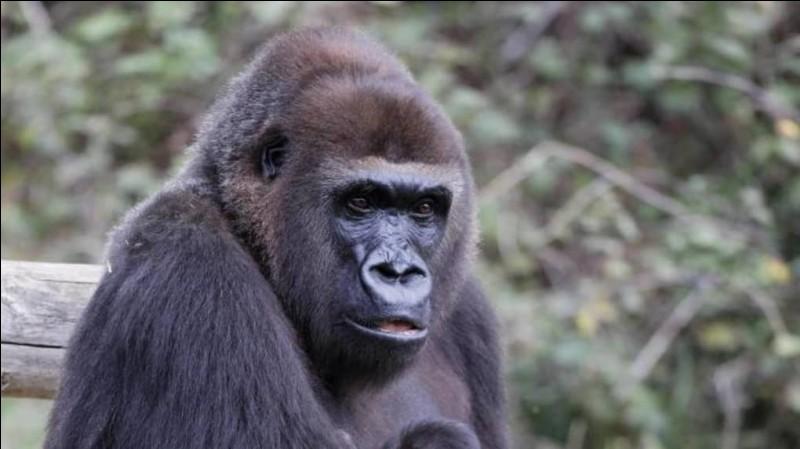 Voici un grand singe très facile à repérer, lequel est-ce ?