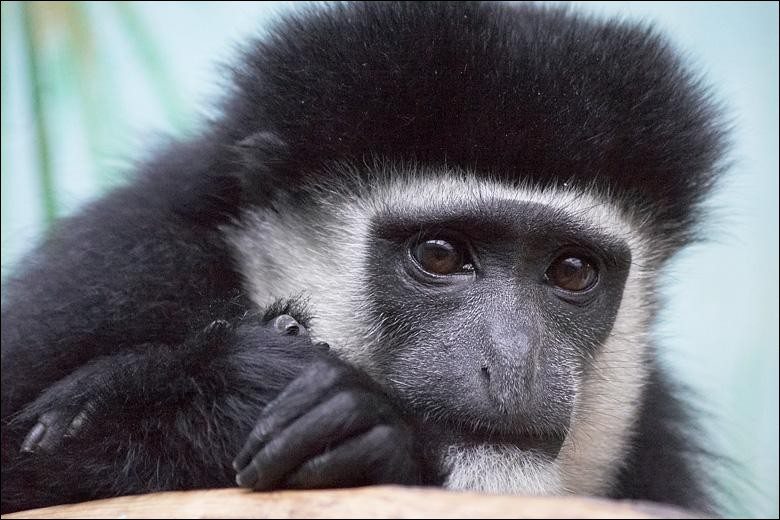 Quelle est la race de ce singe noir et blanc ?