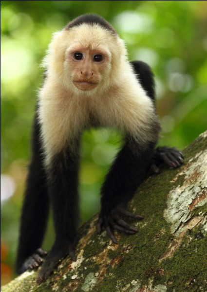 Quelle race apercevons-nous ici, le singe est noir aux colorations blanches sur le haut du corps ?