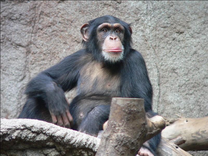 Ce singe est certainement un des plus connus. De quelle race s'agit-il ?
