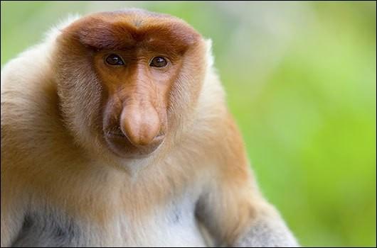 Reconnaissable à son grand nez, quelle est la race de ce singe ?