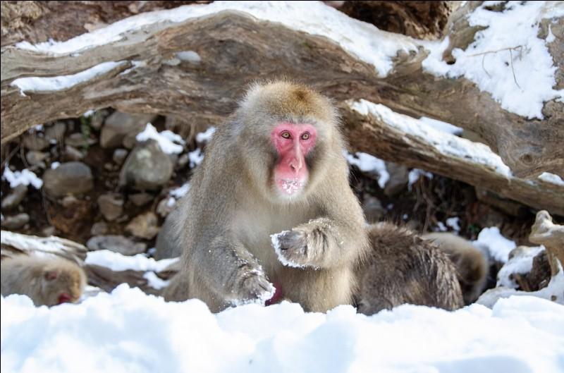 Quel est le nom de ce singe à l'épaisse fourrure qui lui permet de résister au froid et à la neige ?