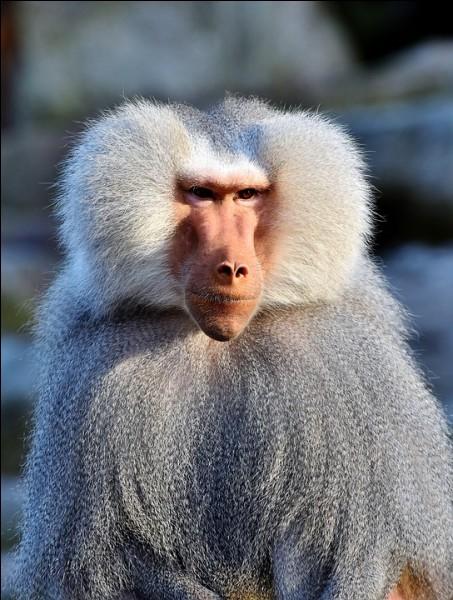 Quelle est la race du singe plutôt connu que nous apercevons ici ?