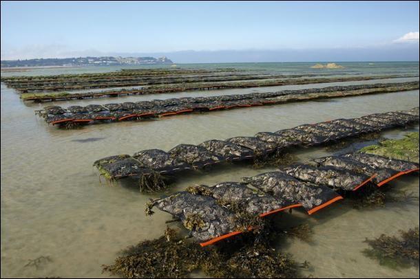 Par quel mot désigne-t-on l'élevage des huîtres ?