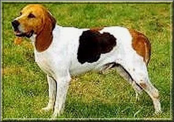 Ce chien est un…