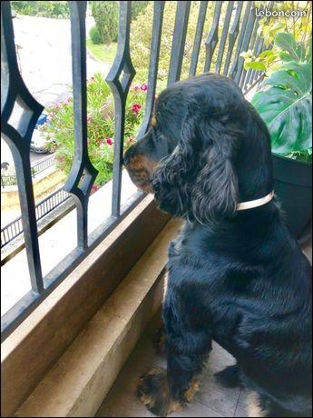 Le cocker est un chien qui a du mal à supporter la solitude.