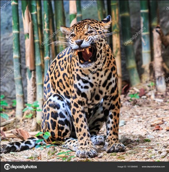 Tu te te balades dans la jungle amazonienne. Soudain, tu es face à un jaguar ! Que fais tu ?