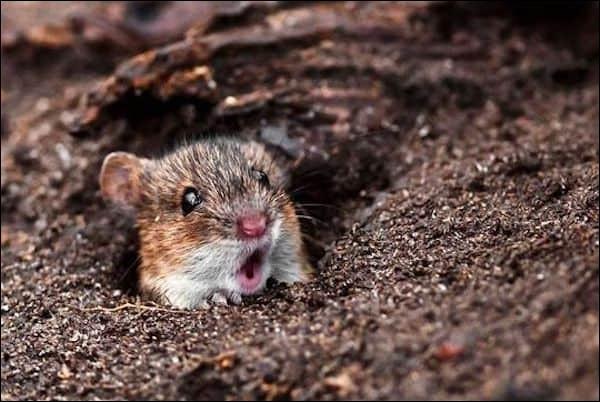 L'animal qui donne des cadeaux à Pâques est une souris.