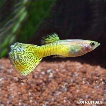 Quel est ce poisson ?