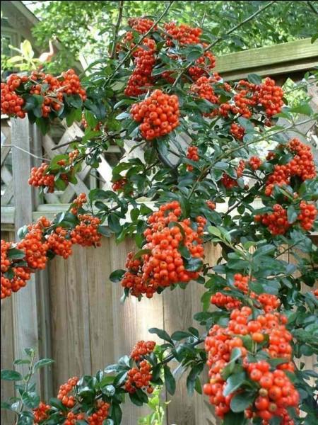 Quel est le nom de cet arbuste à baies rouges ?
