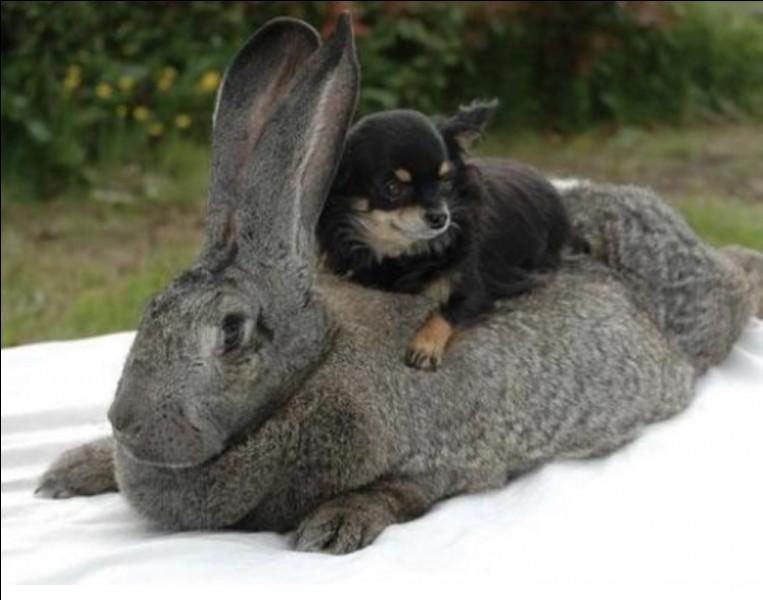 Quelle est cette race de lapin ?