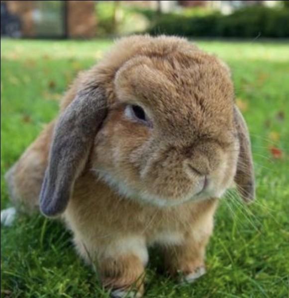 Quelle est la race de ce lapin ?