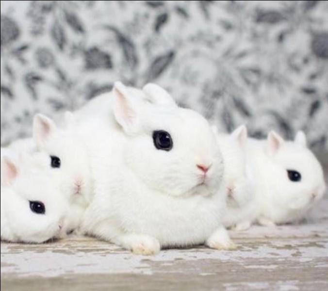 Quelle cette race de lapin ?