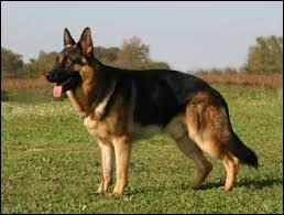 La race de ce chien est berger australien.